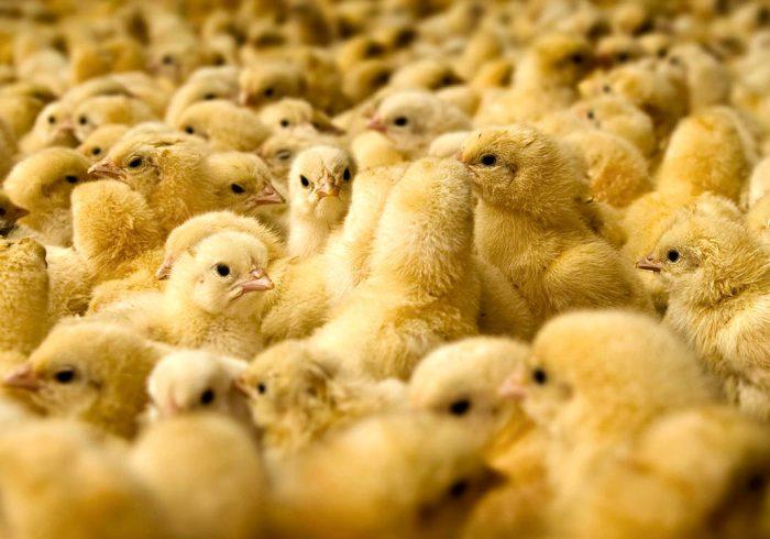 واحدهای مرغ مادر جوجهها را قاچاق کردند!