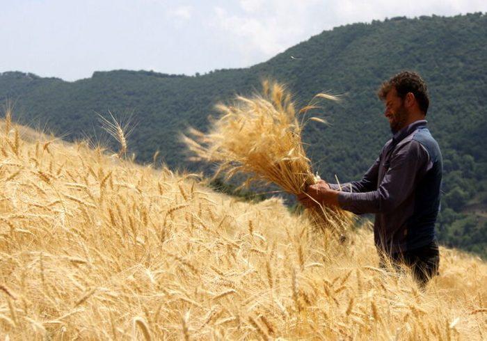 استمرار خودکفایی گندم با حمایت از کشاورز تحقق مییابد
