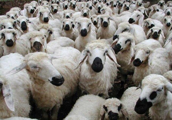 تاثیر ۵۰ تا ۶۰ درصدی تصمیمات وزارت کشاورزی در افزایش قیمت گوشت